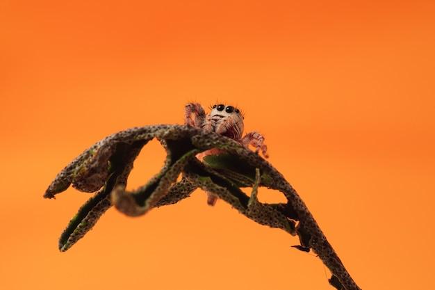 Nahaufnahmeaufnahme einer springenden spinne auf getrocknetem auferstehungsfarn auf orange wand