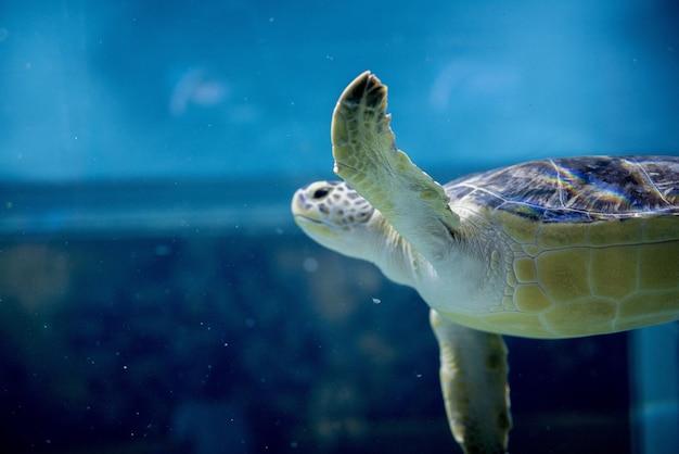 Nahaufnahmeaufnahme einer unechten karettschildkröte unter wasser
