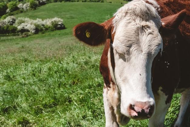 Nahaufnahmeaufnahme einer weißen und braunen kuh, die während des tages auf der weide weidet