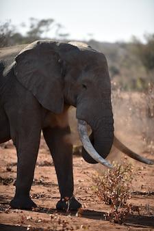 Nahaufnahmeaufnahme eines afrikanischen elefanten, der mit staub spielt