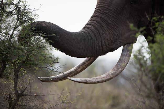 Nahaufnahmeaufnahme eines afrikanischen elefanten, der pflanzen isst