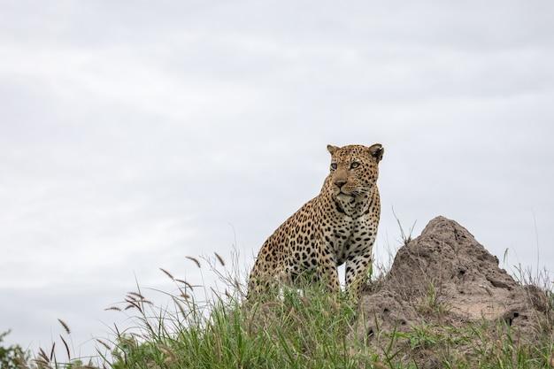 Nahaufnahmeaufnahme eines afrikanischen leoparden, der auf dem felsen mit dem grauen himmel sitzt