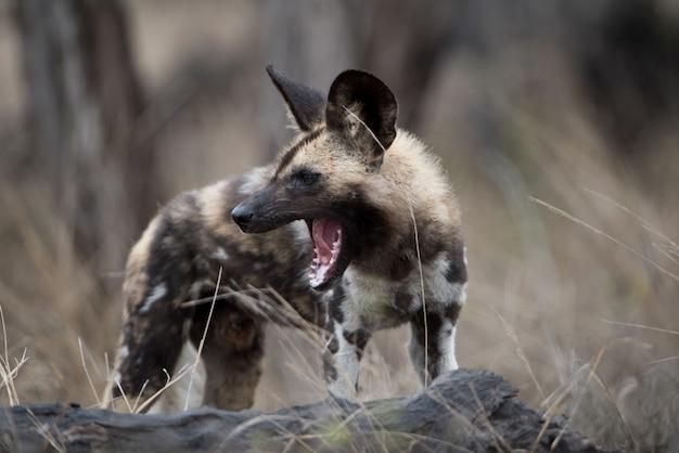 Nahaufnahmeaufnahme eines afrikanischen wilden hundes mit einem weit geöffneten mund