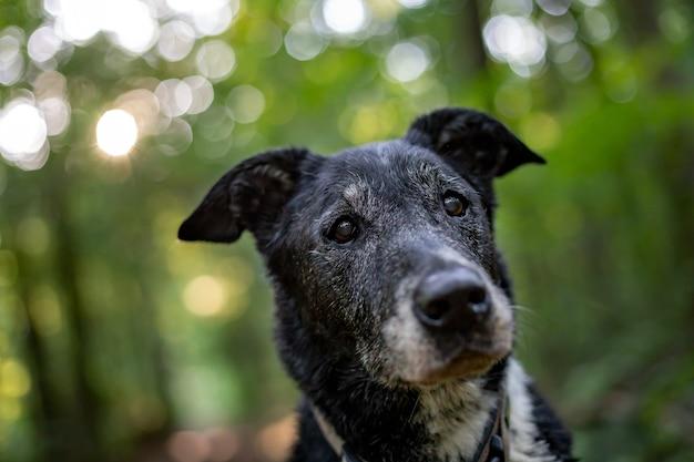 Nahaufnahmeaufnahme eines alten hundes mit einem unscharfen hintergrund