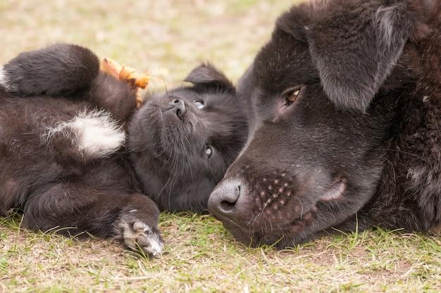 Nahaufnahmeaufnahme eines bhutanischen sennenhundes, der auf dem gras mit seinem welpen liegt