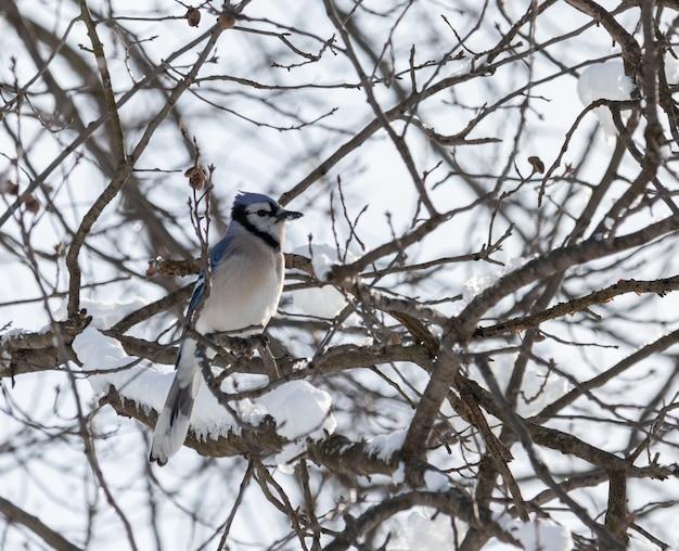 Nahaufnahmeaufnahme eines blauen jay auf einem schneebedeckten zweig während des winters