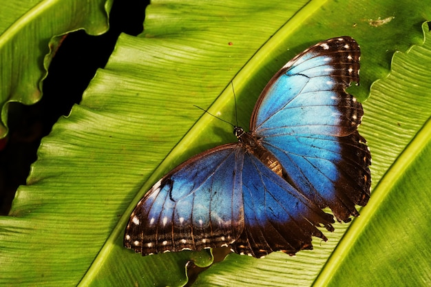 Nahaufnahmeaufnahme eines blauen schmetterlings auf grünem blatt