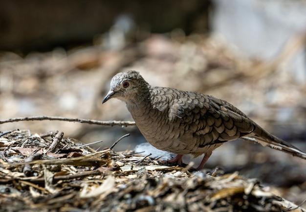 Nahaufnahmeaufnahme eines braunen vogels mit einem schwarzen schnabel, der auf dem boden sitzt