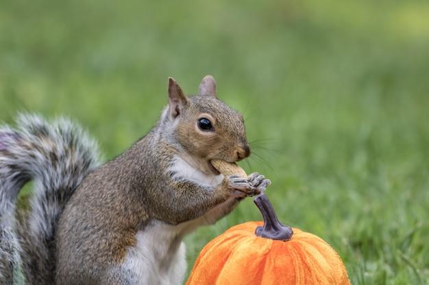 Nahaufnahmeaufnahme eines eichhörnchens neben einem kürbis, der eine erdnuss isst