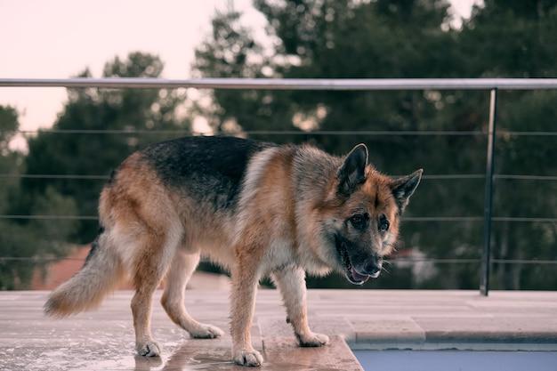 Nahaufnahmeaufnahme eines entzückenden deutschen schäferhundes auf unscharfem hintergrund nahe bei einem schwimmbad