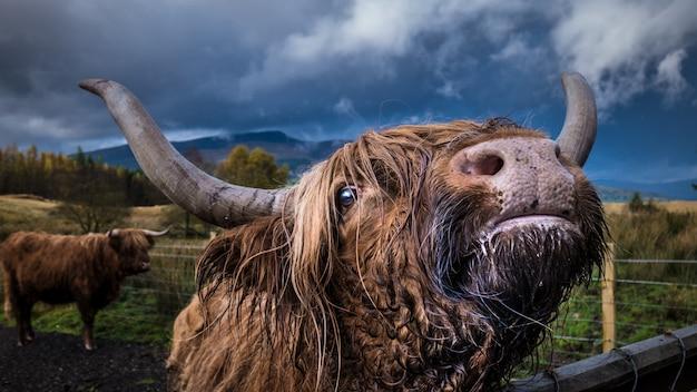 Nahaufnahmeaufnahme eines erwachsenen häuslichen yaks, der die kamera mit einem anderen yak betrachtet