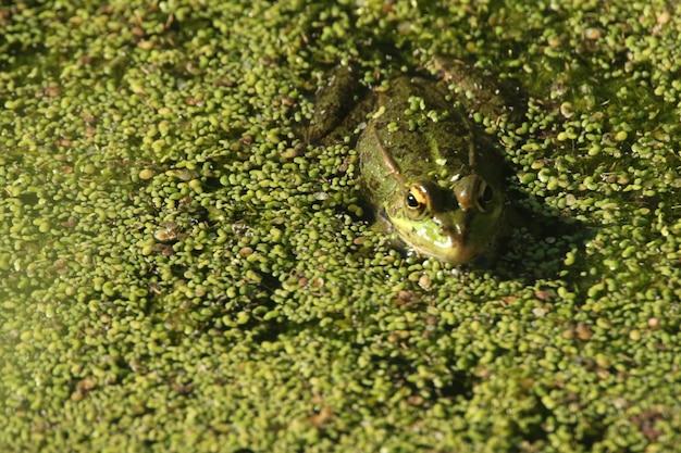 Nahaufnahmeaufnahme eines frosches, der im grünen sumpf schwimmt