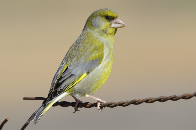 Nahaufnahmeaufnahme eines gelben inländischen kanarienvogels, der auf einem rostigen draht thront