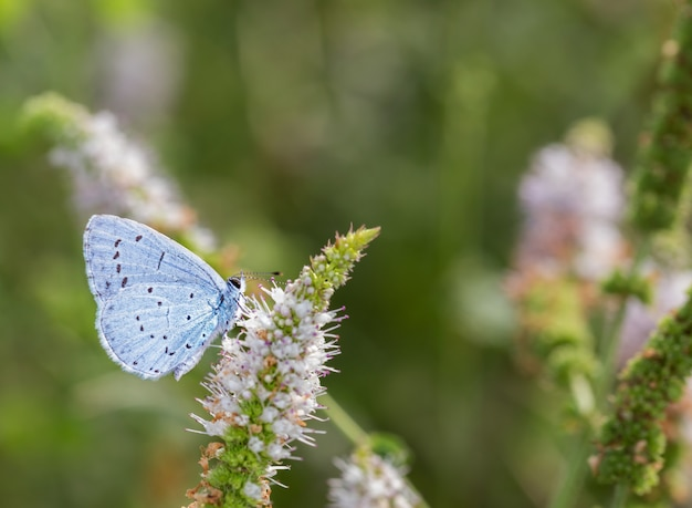 Nahaufnahmeaufnahme eines gemeinsamen blauen schmetterlings auf einer wildblume