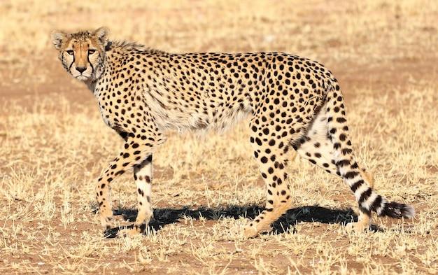 Nahaufnahmeaufnahme eines geparden, der auf dem savannenflugzeug von nambia geht