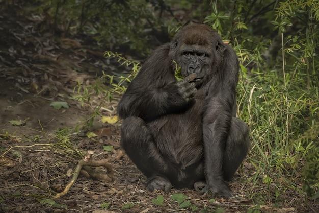 Nahaufnahmeaufnahme eines gorillas, der seinen finger schnüffelt, während er mit einem unscharfen hintergrund sitzt