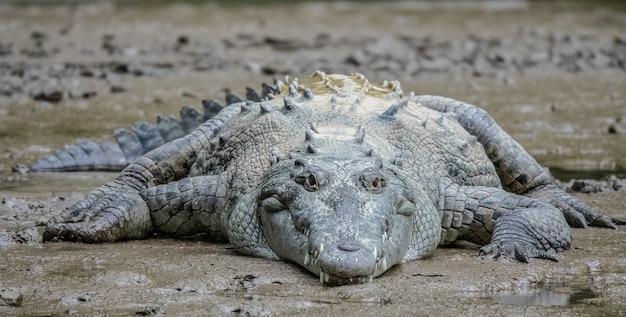 Nahaufnahmeaufnahme eines grauen krokodils, das während des tages auf schlamm liegt