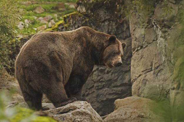 Nahaufnahmeaufnahme eines grizzlybären, der auf einer klippe steht
