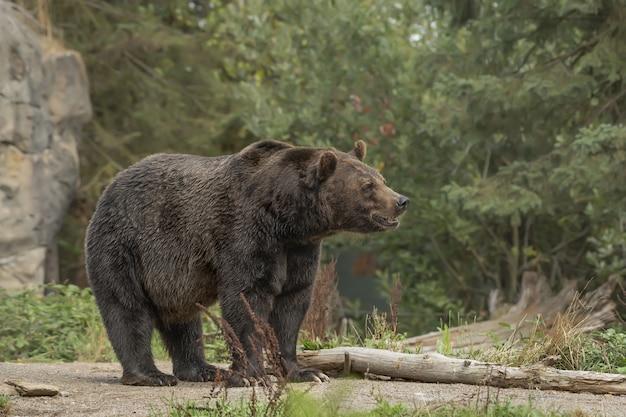 Nahaufnahmeaufnahme eines grizzlybären, der mit einem verschwommenen wald lächelt