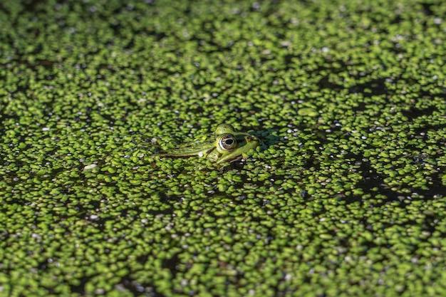 Nahaufnahmeaufnahme eines grünen frosches, der im wasser mit den vollen grünen pflanzen schwimmt