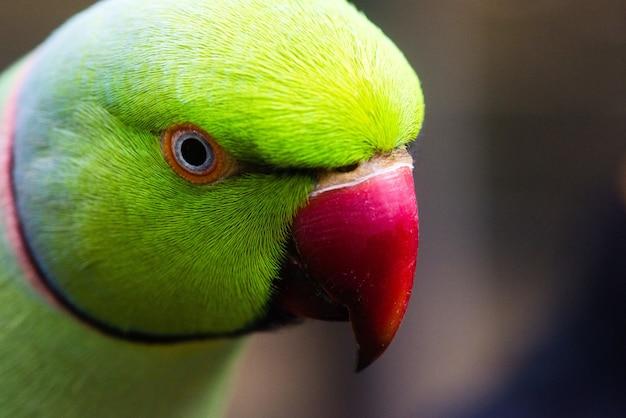 Nahaufnahmeaufnahme eines grünen lovebird mit unscharfem hintergrund