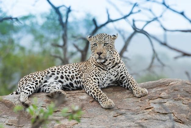 Nahaufnahmeaufnahme eines heftig aussehenden afrikanischen leoparden, der auf dem felsen ruht