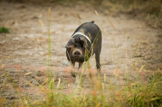 Nahaufnahmeaufnahme eines kleinen hampshire-schweins, das in einem feld bei tageslicht geht