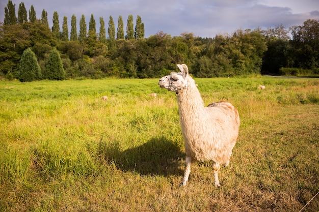 Nahaufnahmeaufnahme eines lamas in einem feld, das im grün unter dem sonnenlicht tagsüber bedeckt ist