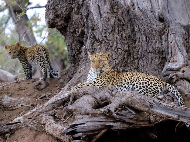 Nahaufnahmeaufnahme eines leoparden mit ihrem baby nahe braunem baumstamm