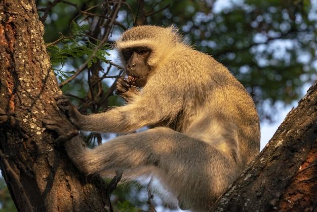 Nahaufnahmeaufnahme eines makaken auf einem baum in südafrika