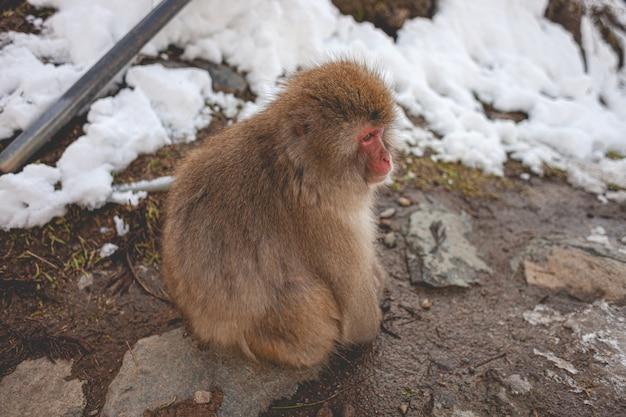 Nahaufnahmeaufnahme eines makakenaffen, der auf dem boden sitzt