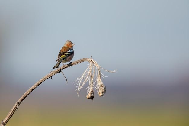 Nahaufnahmeaufnahme eines meisenvogels, der auf einer trockenen pflanze thront