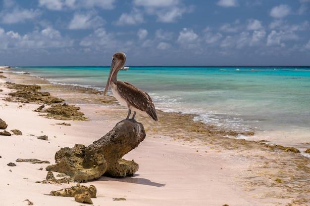 Nahaufnahmeaufnahme eines niedlichen braunen pelikans, der auf einer baumwurzel am strand in bonaire, karibik steht