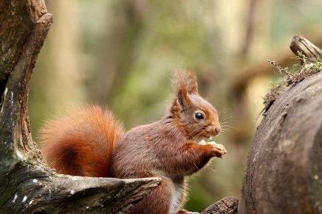 Nahaufnahmeaufnahme eines niedlichen eichhörnchens, das haselnuss auf einem unscharfen hintergrund isst