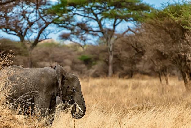 Nahaufnahmeaufnahme eines niedlichen elefanten, der auf dem trockenen gras in der wildnis geht
