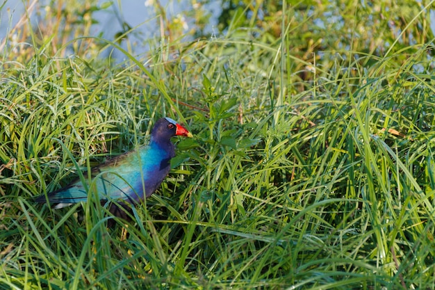 Nahaufnahmeaufnahme eines niedlichen europäischen gallinule-vogels, der im grünen gras geht