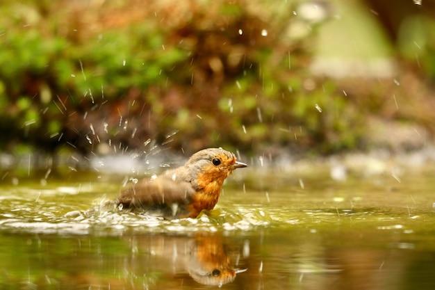 Nahaufnahmeaufnahme eines niedlichen europäischen rotkehlchenvogels, der in einem see schwimmt