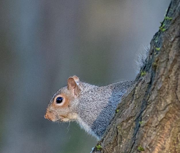 Nahaufnahmeaufnahme eines niedlichen grauen eichhörnchens auf einem unscharfen hintergrund