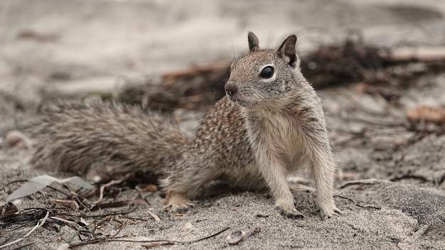 Nahaufnahmeaufnahme eines niedlichen grundeichhörnchens, das nach nahrung am strand sucht