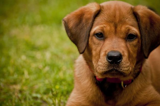 Nahaufnahmeaufnahme eines niedlichen hundes, der auf einem grasfeld liegt