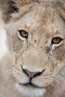 Nahaufnahmeaufnahme eines niedlichen löwenjungen