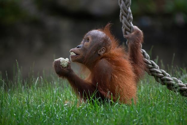Nahaufnahmeaufnahme eines niedlichen orang-utans, der essen hält und mit einem seil im wald spielt