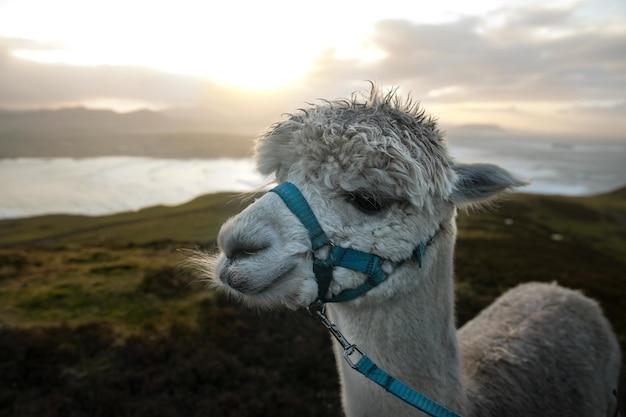 Nahaufnahmeaufnahme eines niedlichen weißen lamas mit einem ozean und bergen während des sonnenaufgangs