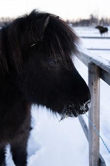 Nahaufnahmeaufnahme eines nutztiers, das einen spaziergang auf der verschneiten landschaft in nordschweden nimmt