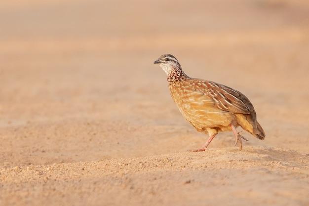 Nahaufnahmeaufnahme eines rebhuhnvogels, der über den sand geht