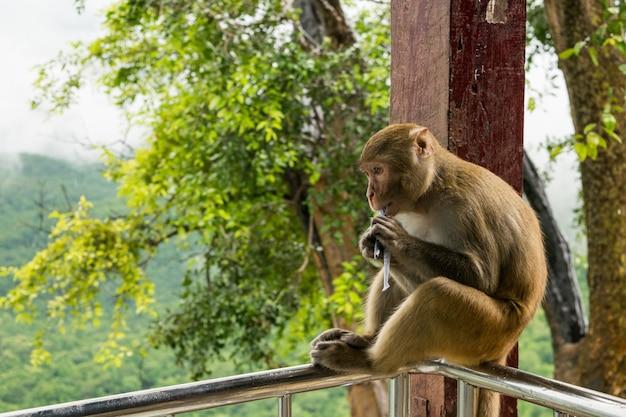 Nahaufnahmeaufnahme eines rhesus-makaken-primatenaffen, der auf einem metallgeländer sitzt und etwas isst