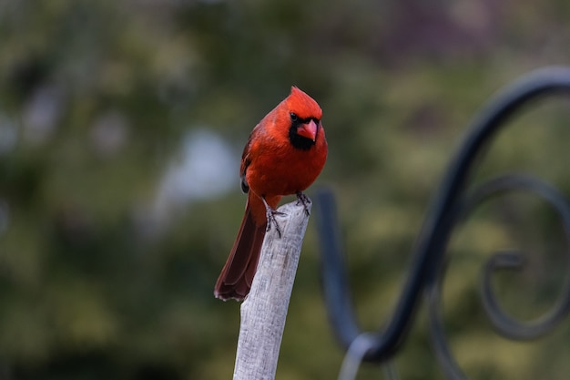 Nahaufnahmeaufnahme eines roten kardinalvogels, der auf einem zweig ruht