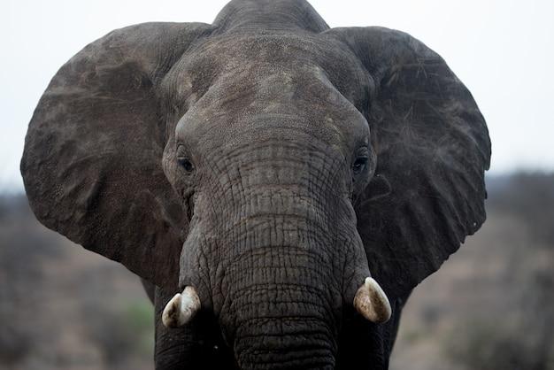 Nahaufnahmeaufnahme eines schönen afrikanischen elefanten