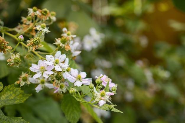 Nahaufnahmeaufnahme eines schönen blühenden astes mit weißen blumen