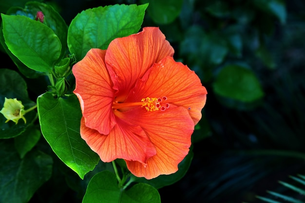 Nahaufnahmeaufnahme eines schönen hawaiianischen hibiskus in der toskana und auf elba in italien